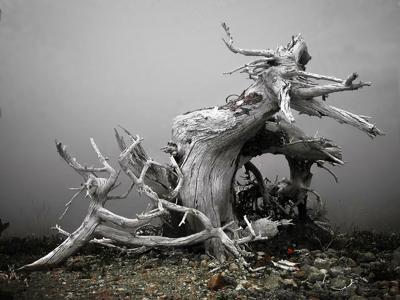 'Whitebark Pine Still Standing' by Paul Glasser