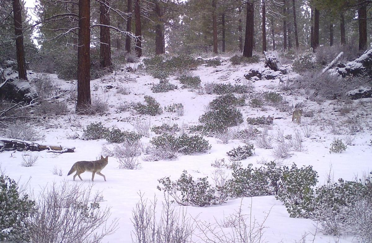 tree farm coyotes.JPG