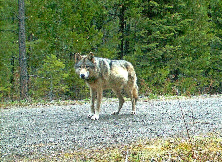 Reported wolf sighting near Bend could be wolf/dog hybrid
