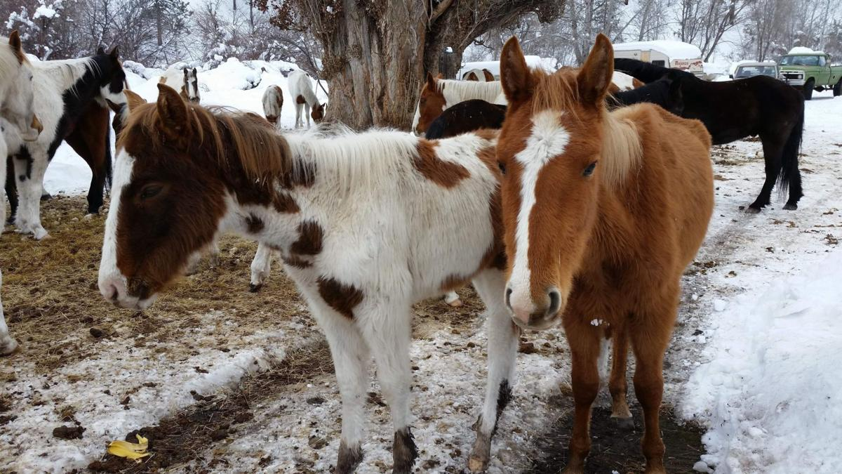 Trapped in snow, wild mustangs starving to death in Warm Springs