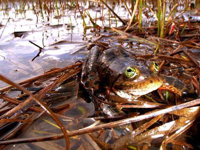 Bend talk explores spotted frog settlement