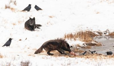 Wolf feeds at Blacktail Ponds