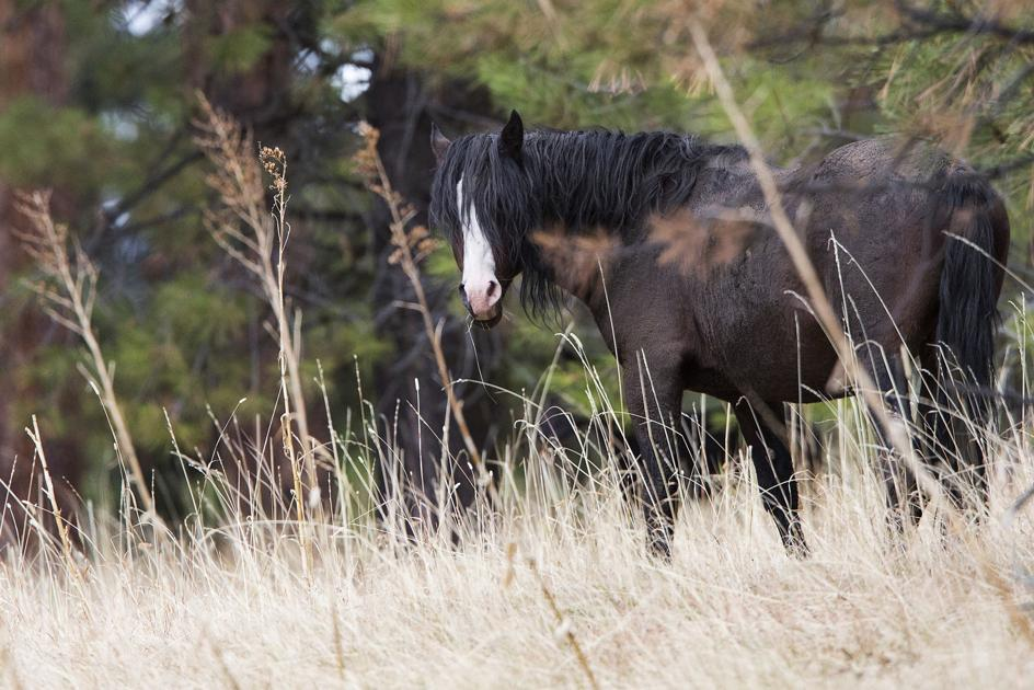 Ochoco National Forest finalizes plan to slash number of wild horses
