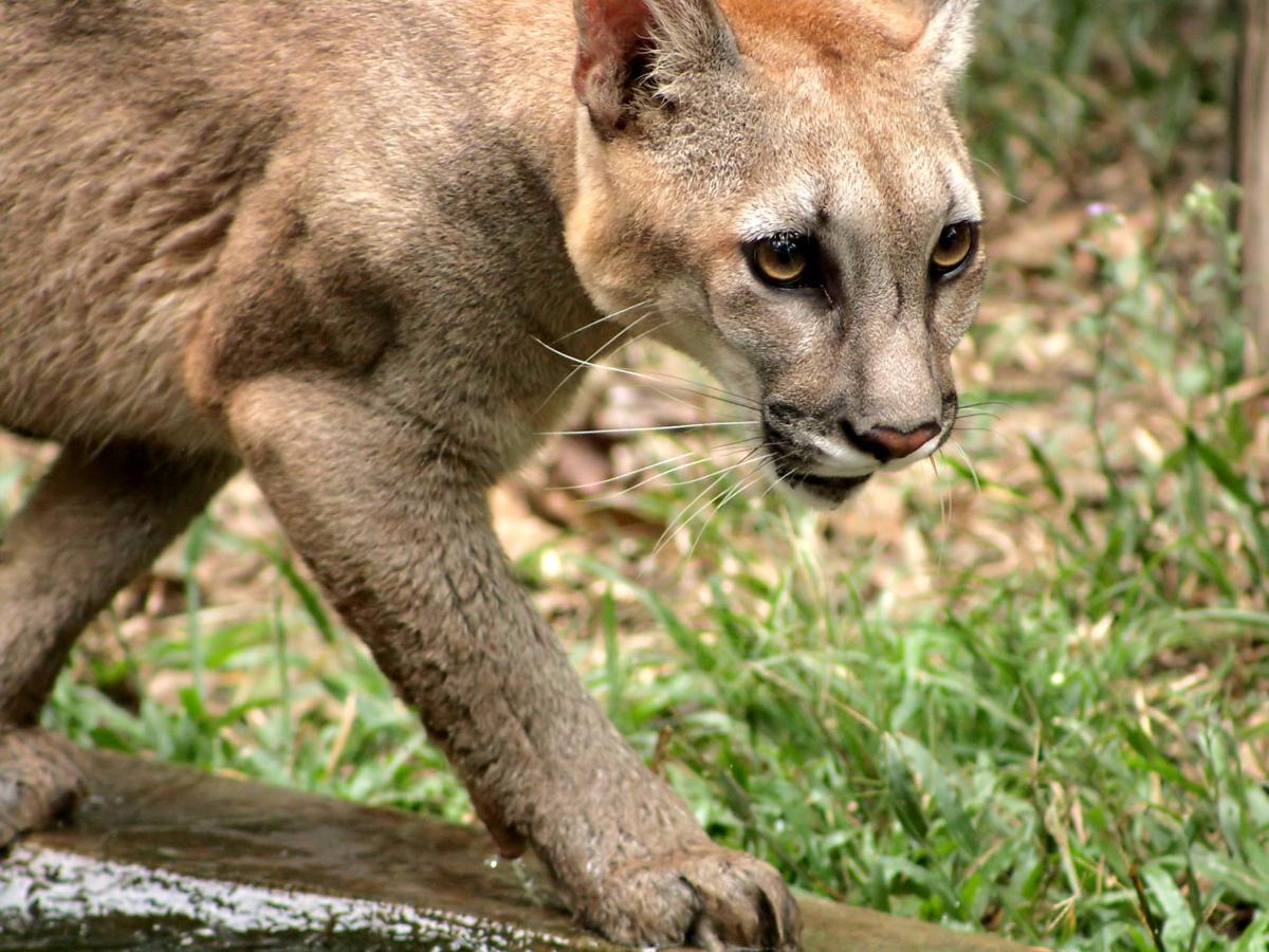 Deputy kills cougar in Cascade Locks