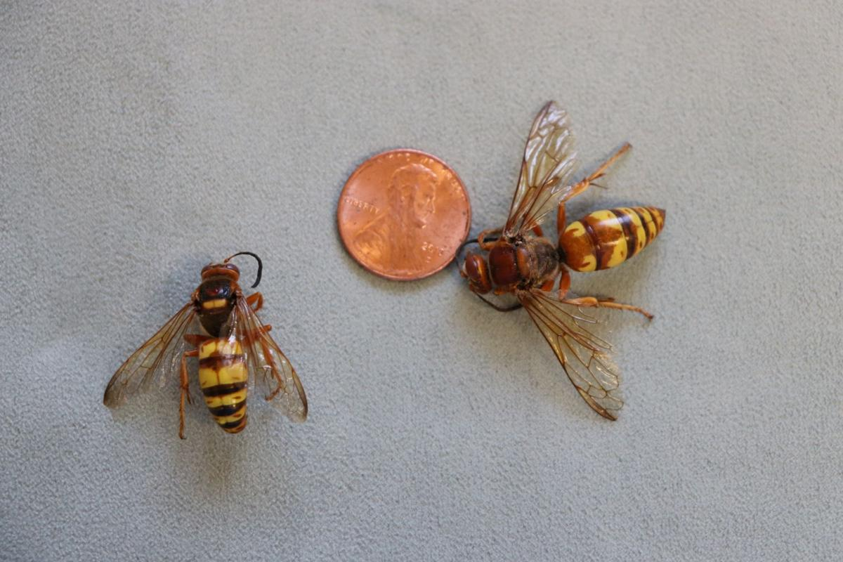 Large wasps descend on Central Oregon in search of cicadas