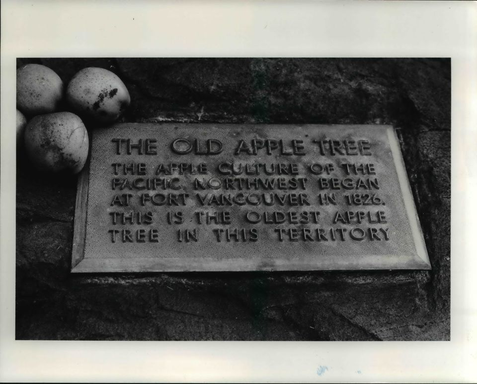The old apple tree.