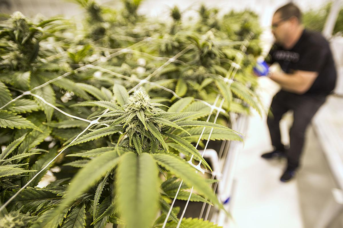 Overproduction of marijuana floods market
