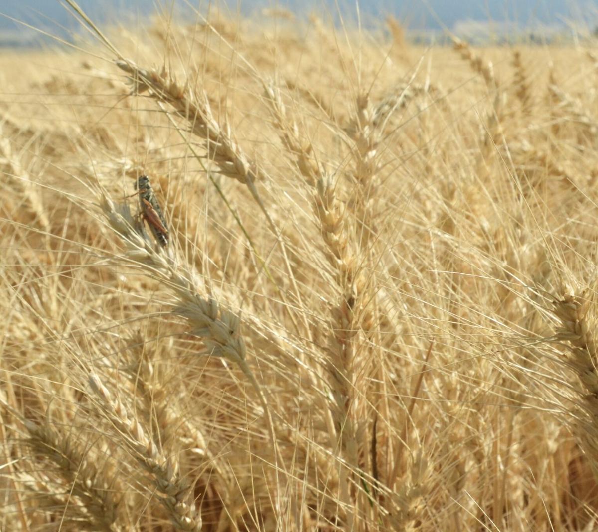 2wheat 2267 for 090920.jpg