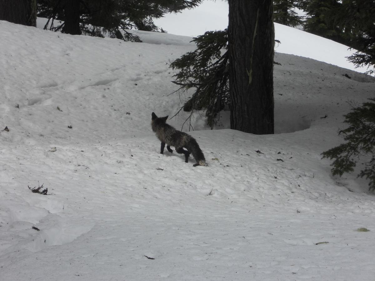 Biologists excited by discovery of red foxes in Oregon
