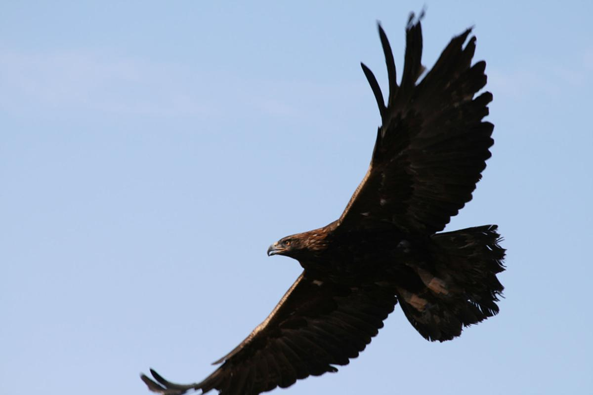 Golden eagles build nest in southeast Bend, where builder plans 82 homes
