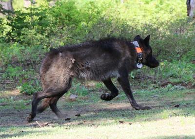 ODFW gray wolf collar.jpg