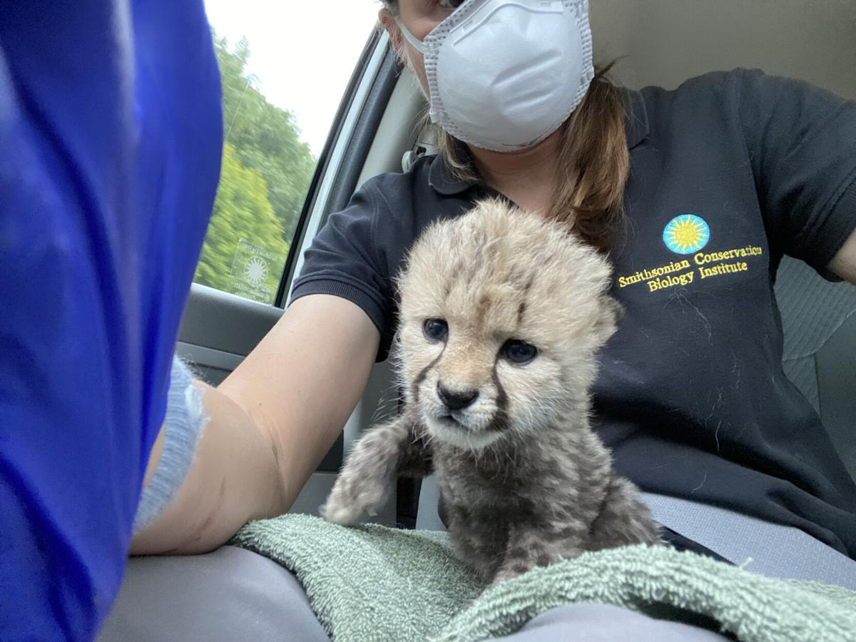 Abandoned baby cheetah in Virginia is adopted by new family in Oregon