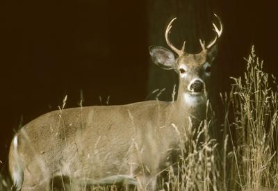 deer pix