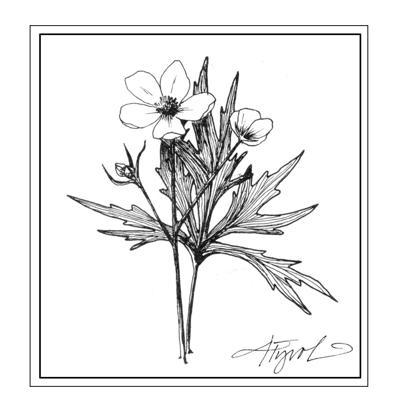 buttercup illustration