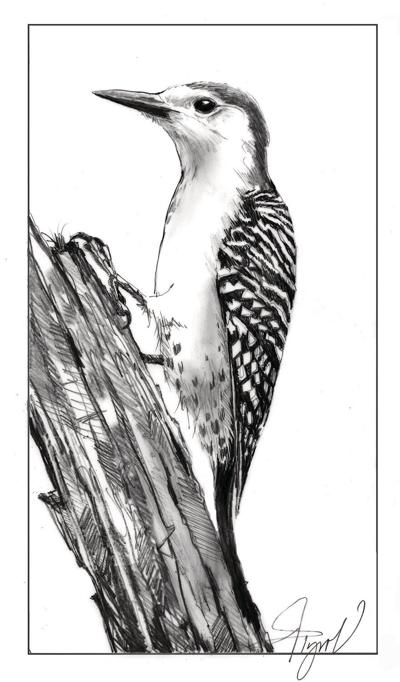 Lee Emmons   The Outside Story: Red-bellied woodpeckers move north