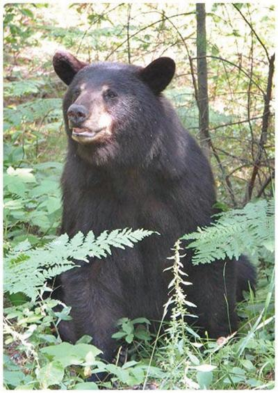 Bear killed by wardens on Long Trail