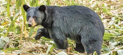 Deerfield Wind Bear Study public meeting on Monday