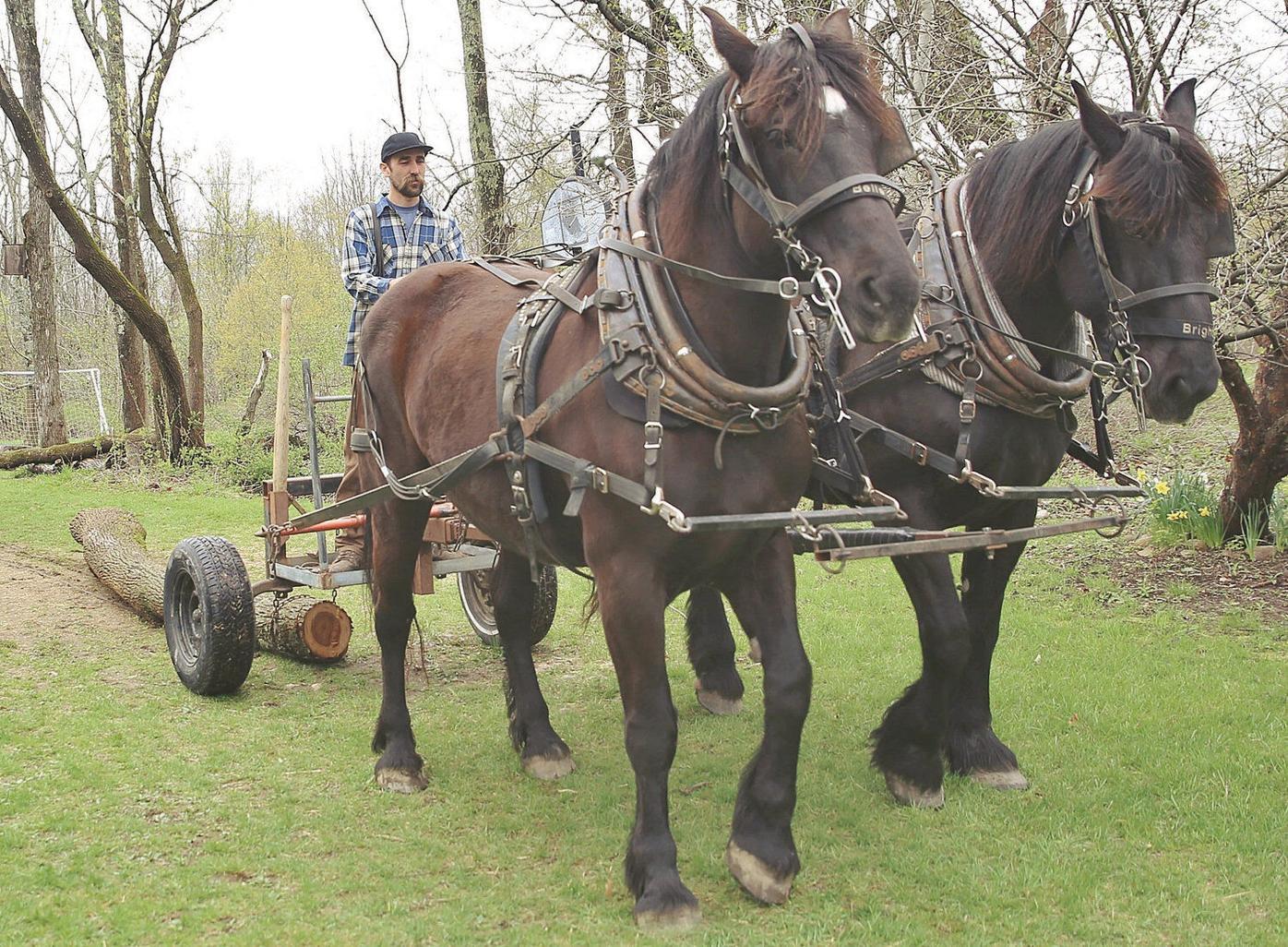 Percheron horses teach logging at Hiland Hall School