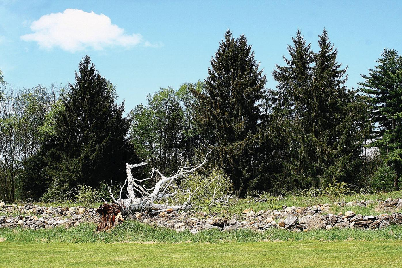 Trees planted by Robert Frost felled by wind
