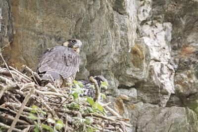 Peregrine Falcon Nest (003)-T5.jpg