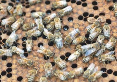 House agriculture committee weighs honeybee bill