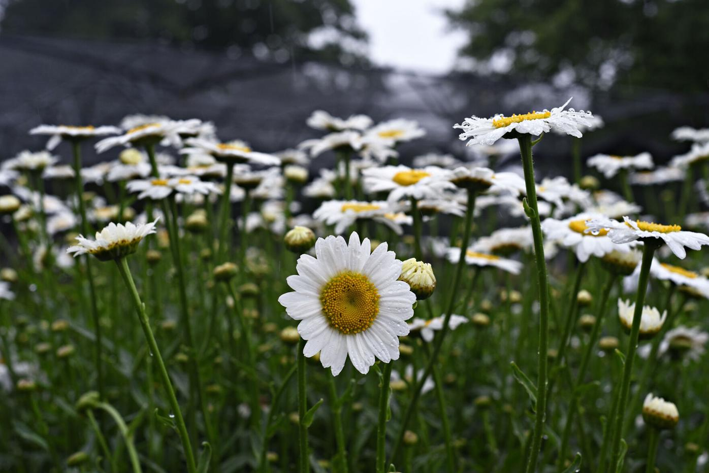 White daisies with yellow centers at Ward's Nursery.