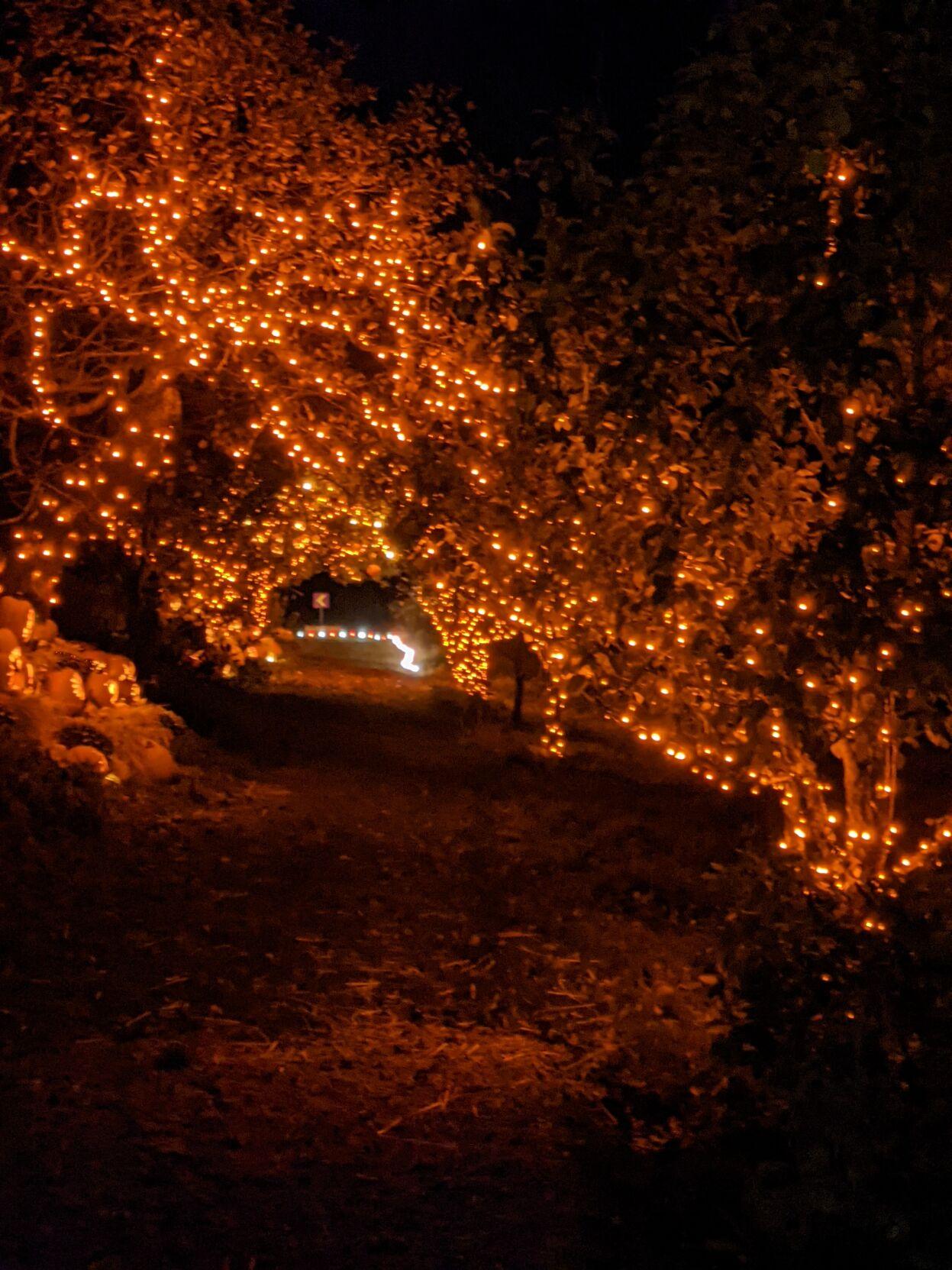Trees lit with orange Halloween lights
