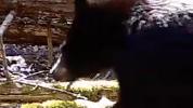Bear cub Whately Screen Shot 2021-04-18 at 12.44.40 PM.png