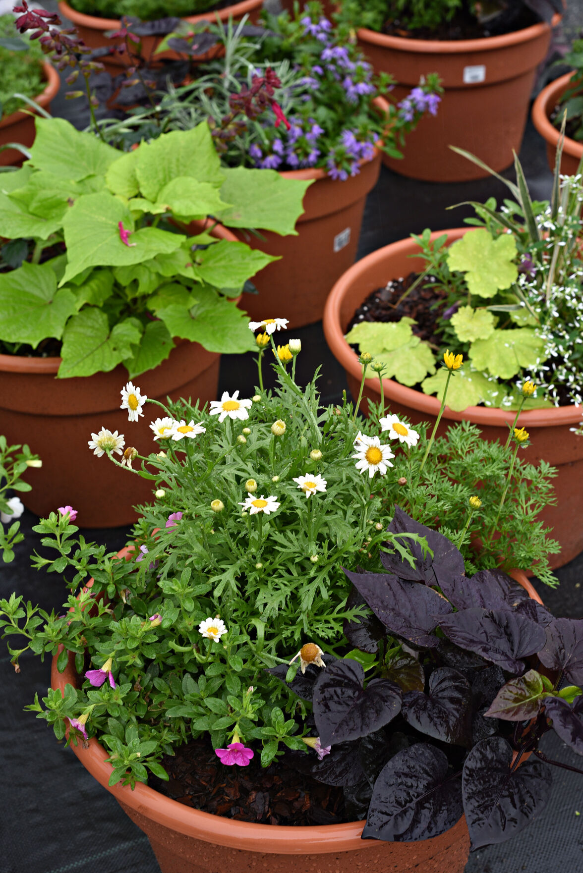 Fully-planted patio pots on display at Ward's Nursery.