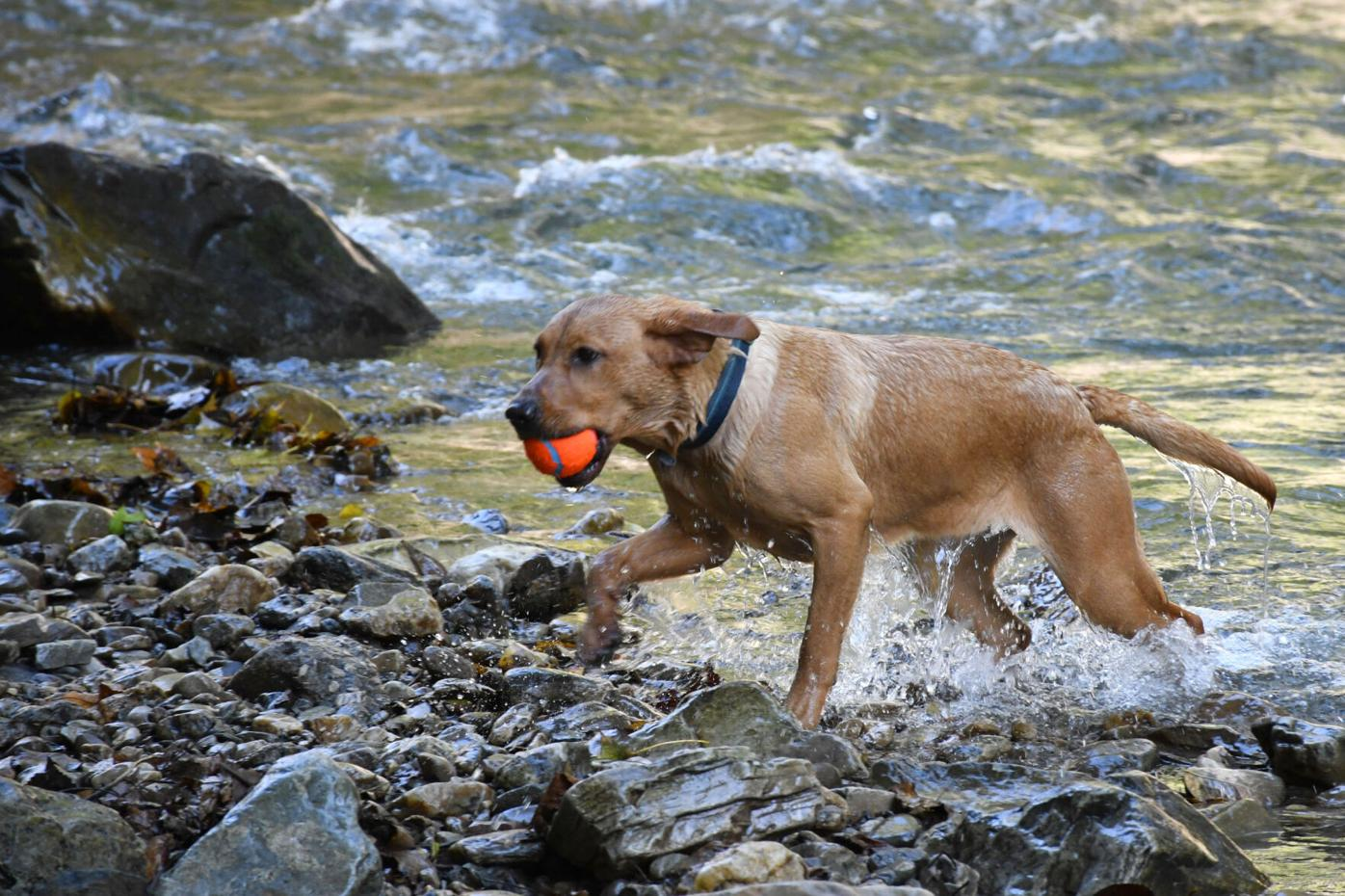 Dog comes out of river with ball in mouth