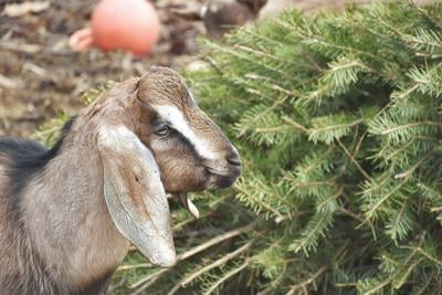 These goats are the GOATs in Christmas tree recycling