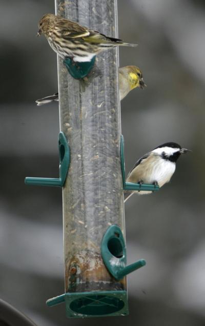 Bird feeder salmonella