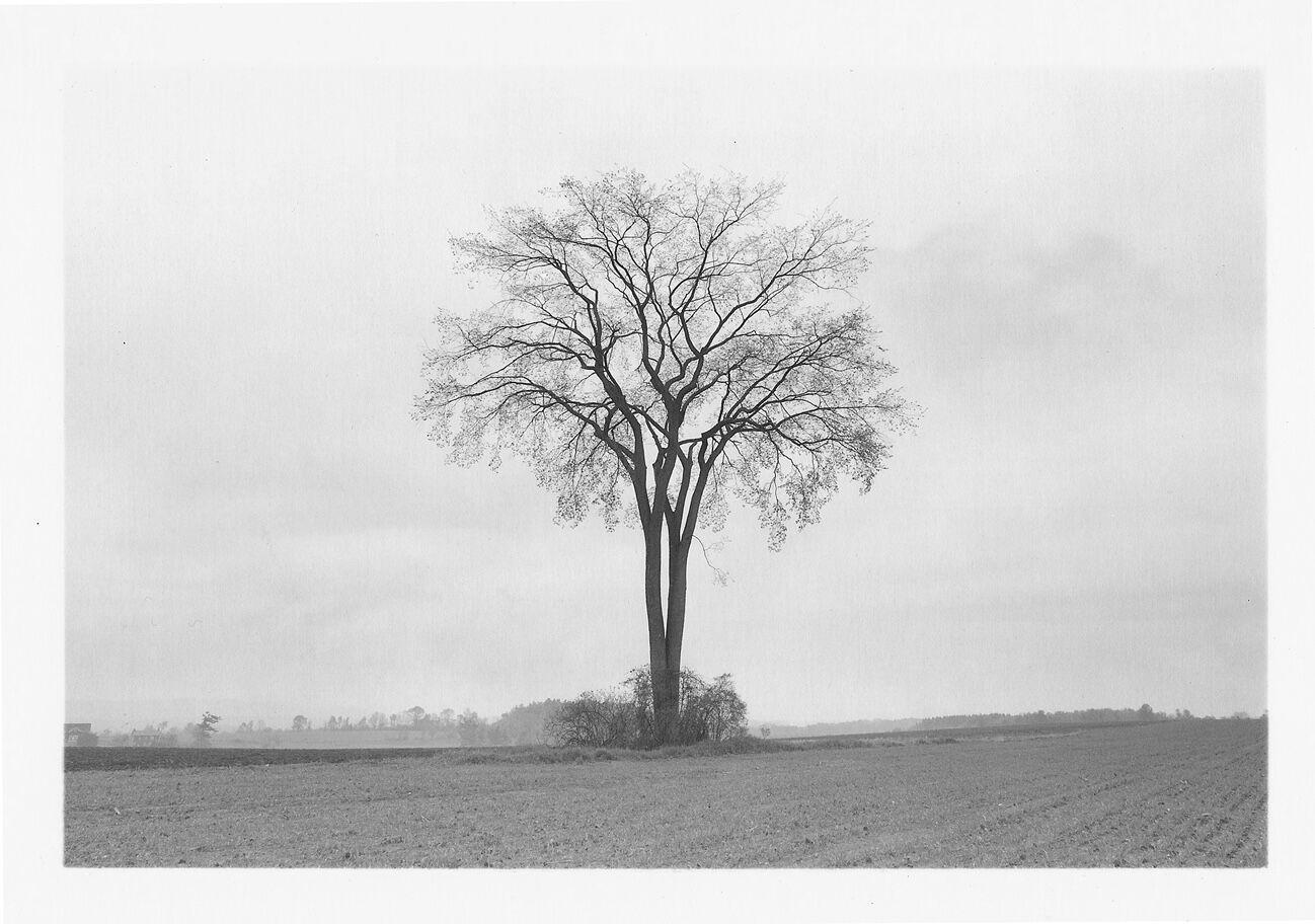 American Elm, Spring, 1997
