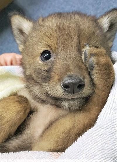 No word if it was wily, but found coyote pup being looked after in Berkshires