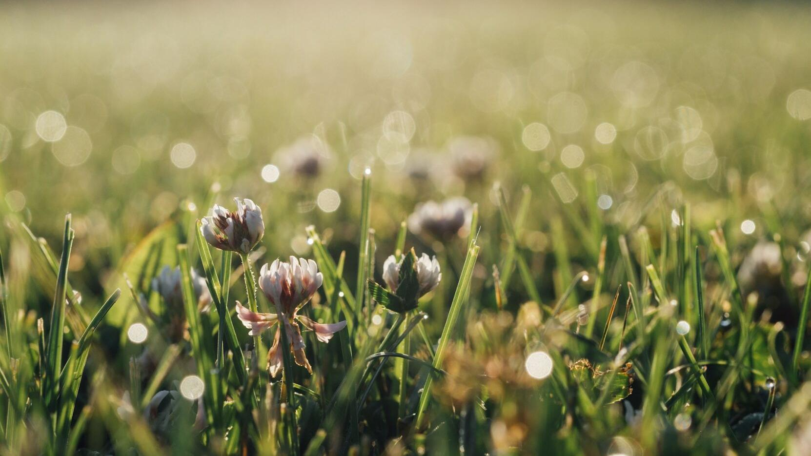 Thomas Christopher: Why you should stop thinking of clover as a weed ...