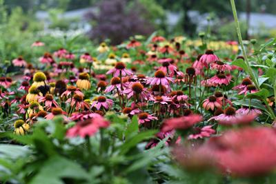Coneflowers, in multiple hues, on display at Ward's.
