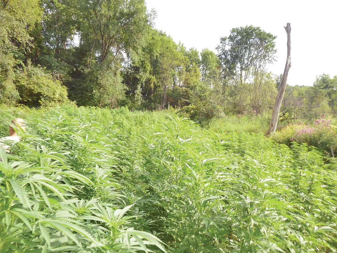 Nearly 500 marijuana plants found - and burned - in West Stockbridge