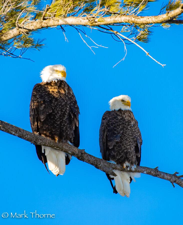 bald eagles on Onota