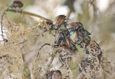 Thom Smith   NatureWatch: Where are all the Japanese beetles this summer?