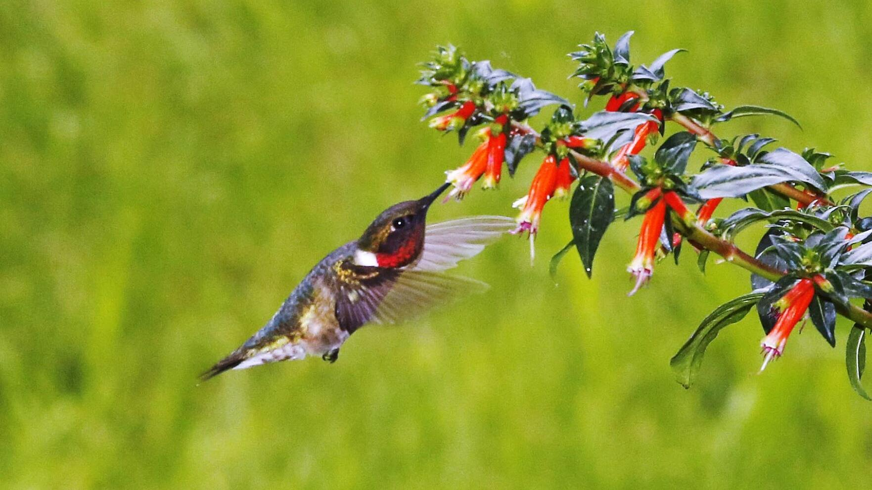 Thom Smith: Hummingbirds return to summer in the Berkshires