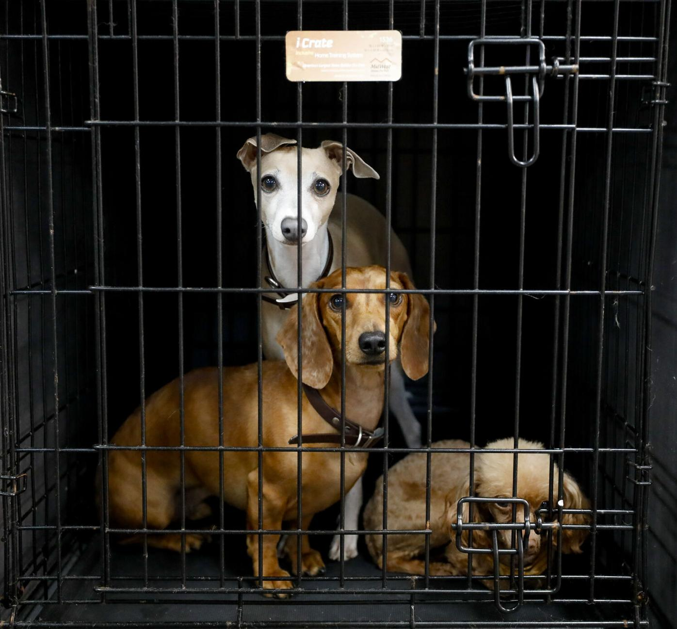 three dogs look out from kennel