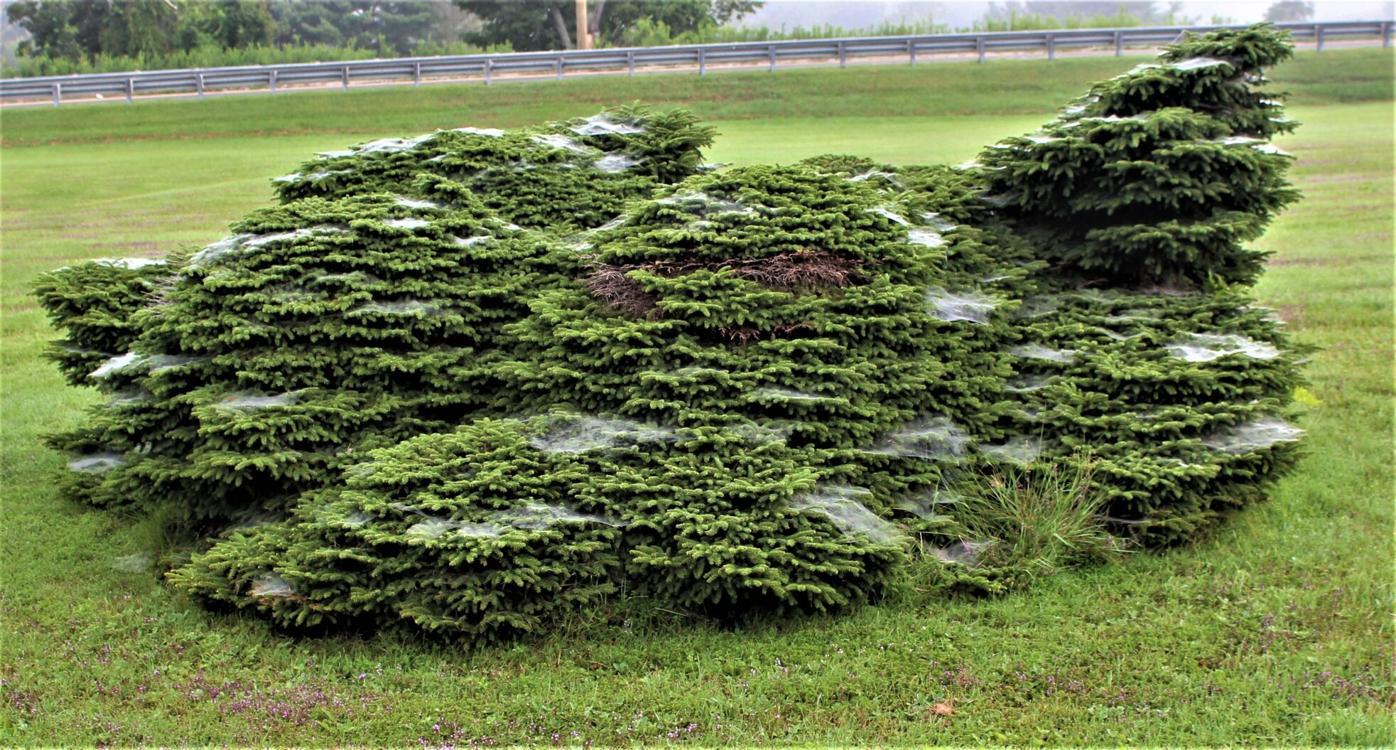 fairy spider nests.jpg