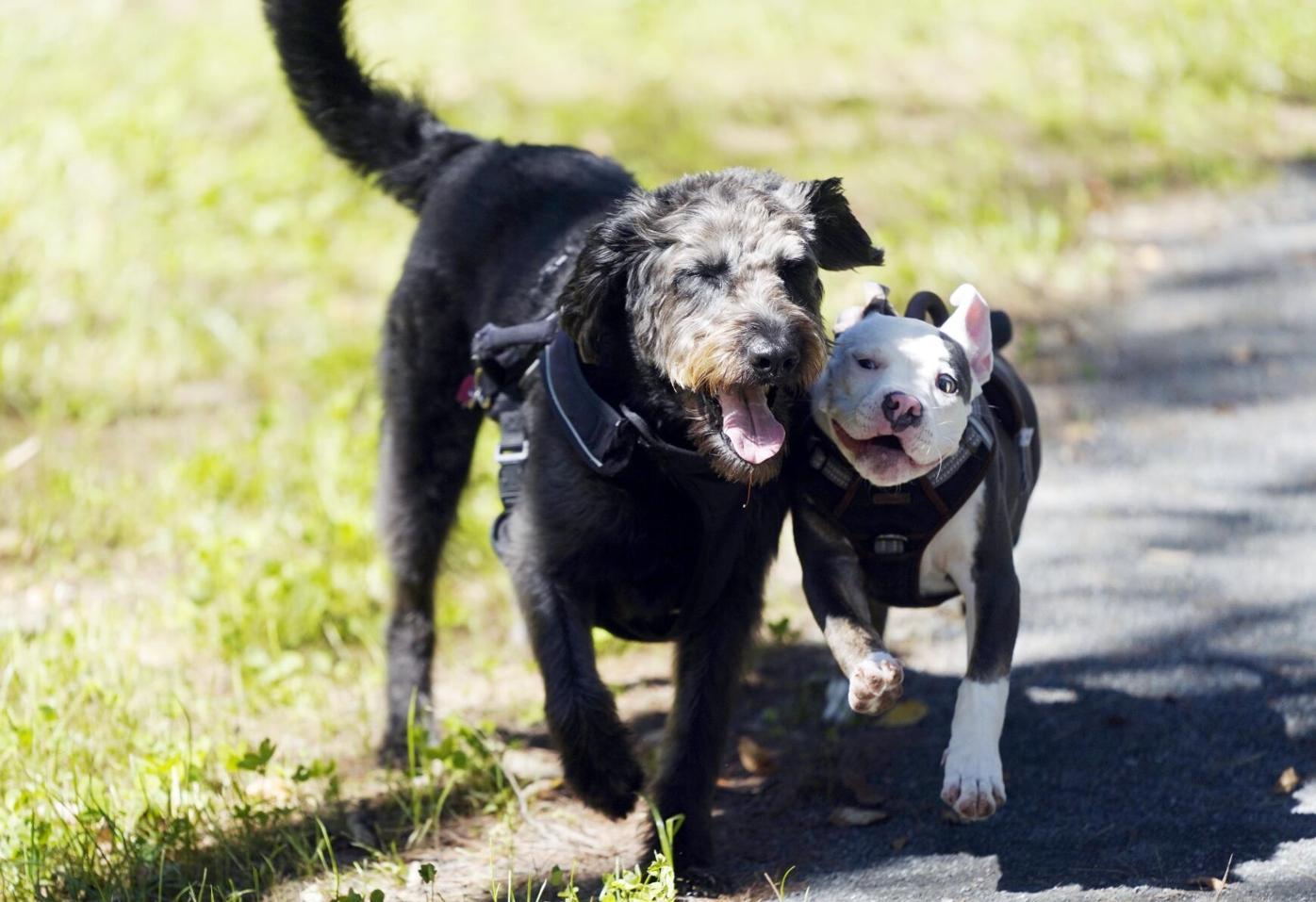 dogs run together