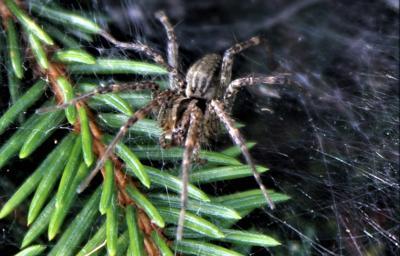 American grass spider on tree.