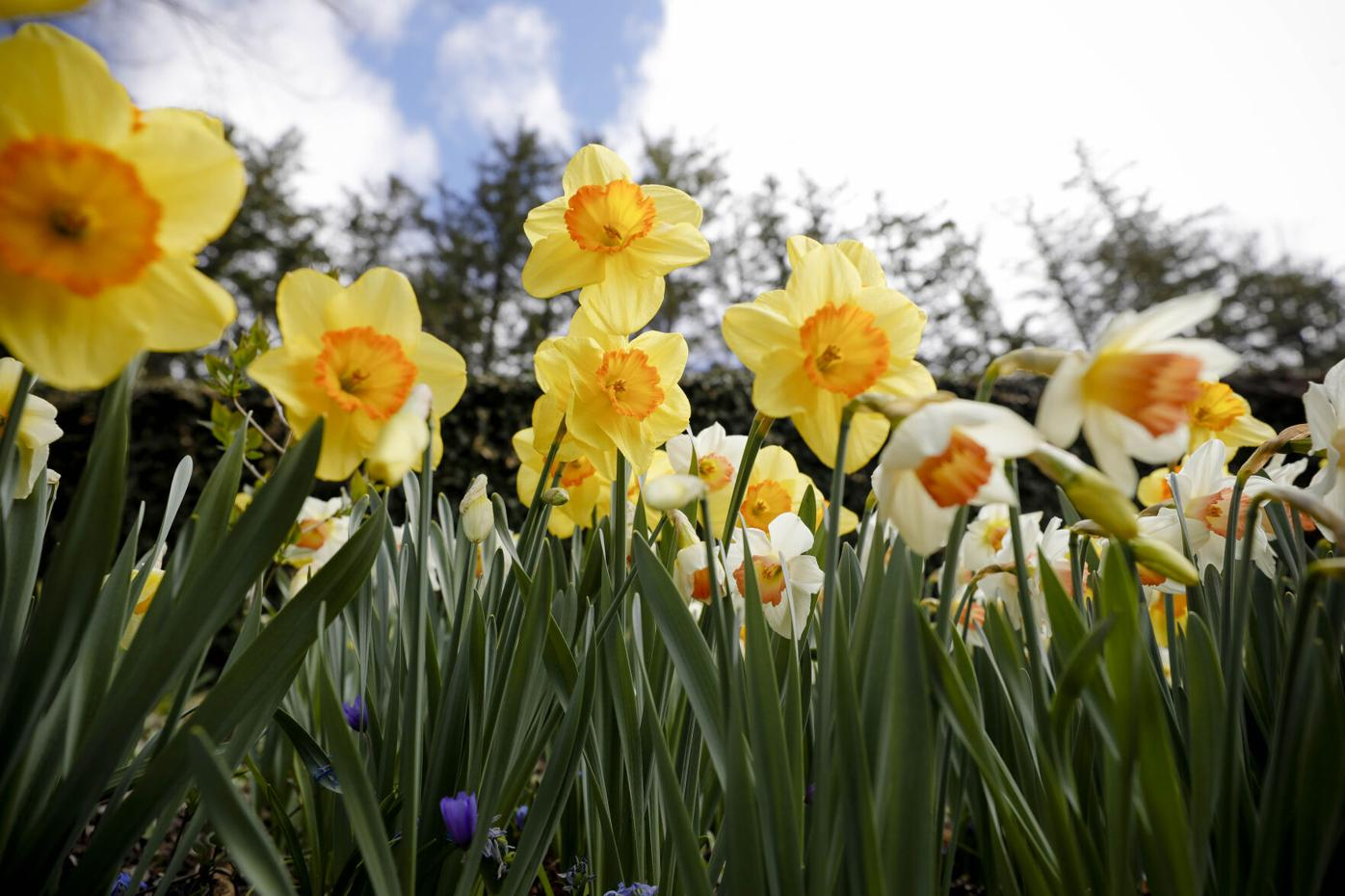 Naumkeag Daffodil Festival Preview
