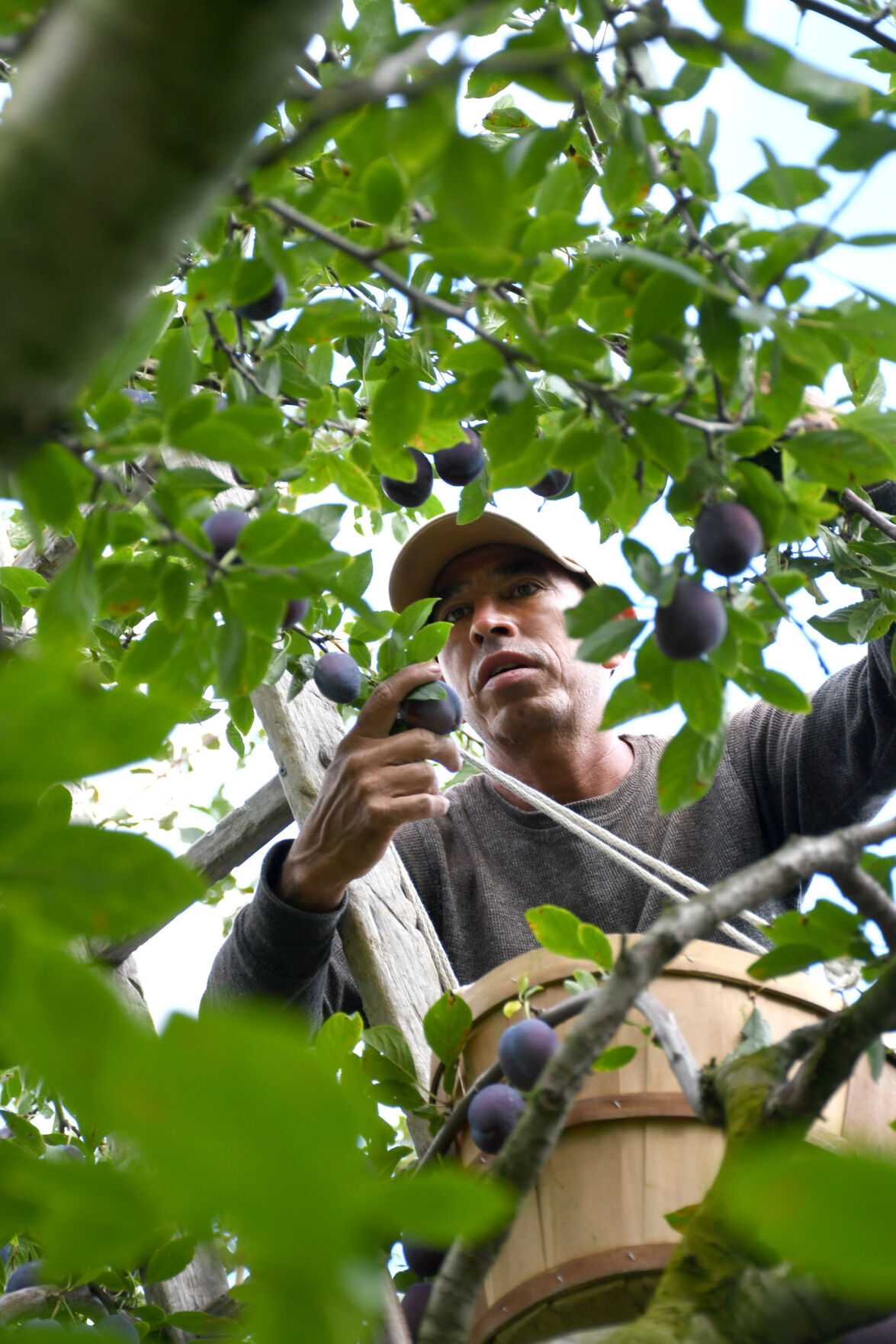A man picks plums from a tree
