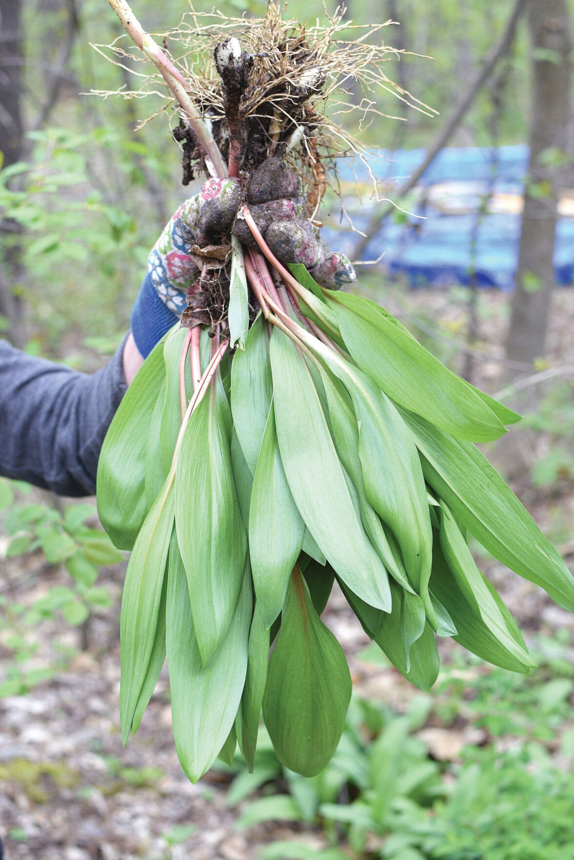 Ramp up the flavor with foraged ramps