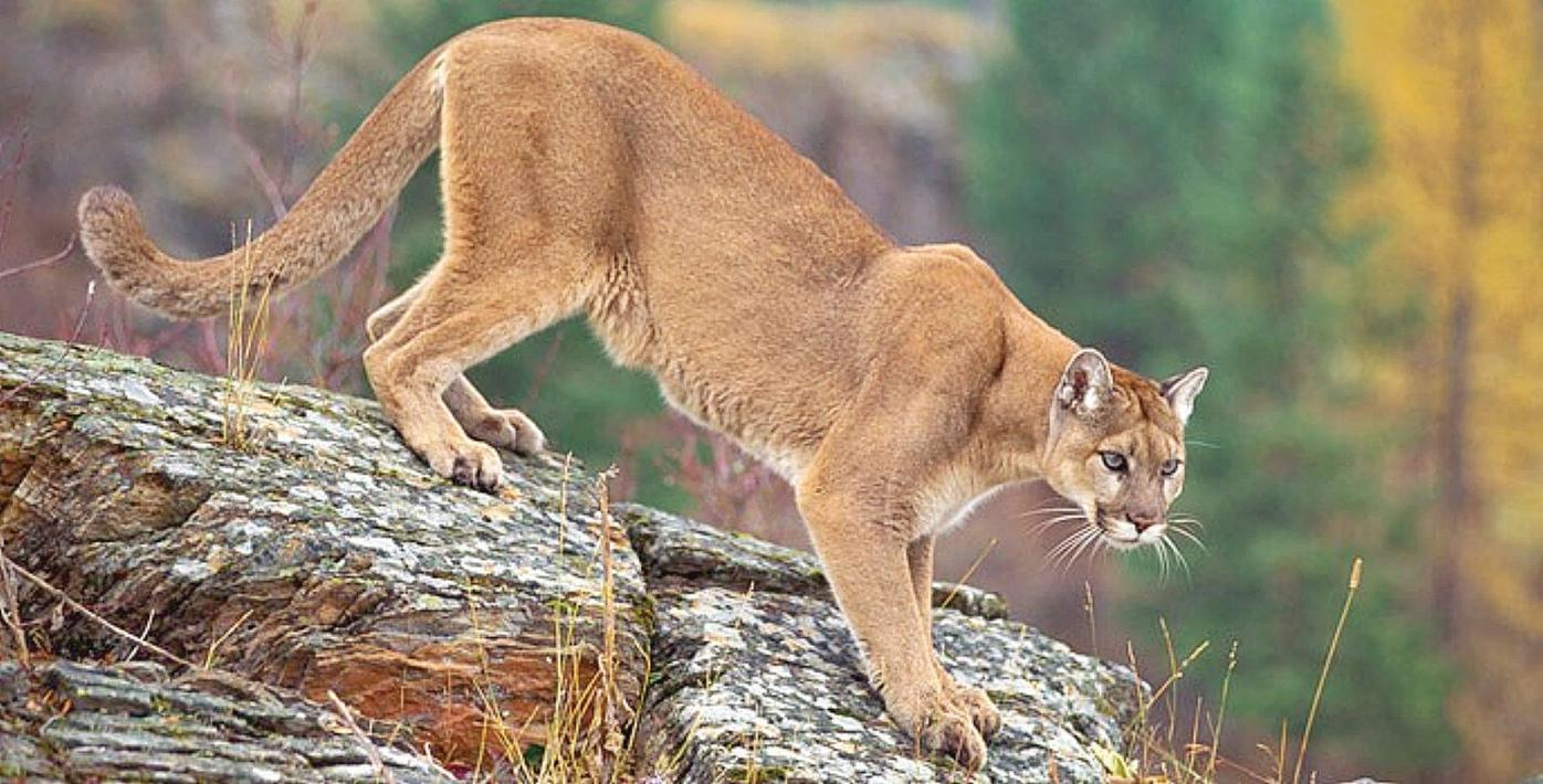 Are the mountain lion sightings in Monterey for real?