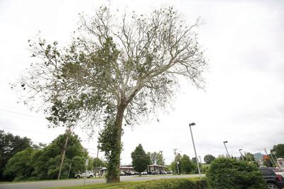 Historic sycamore on Route 7 in Great Barrington isn't dying - it has a fungus