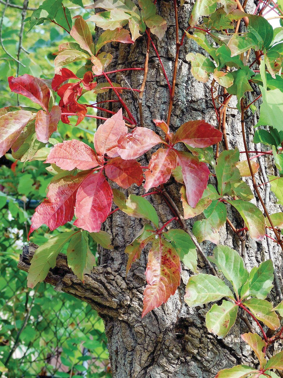 Thom Smith | NatureWatch: Learn about climbers, stranglers and vines